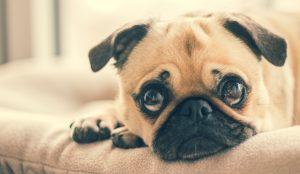 Pug Training Tips | Dog Training School Brisbane