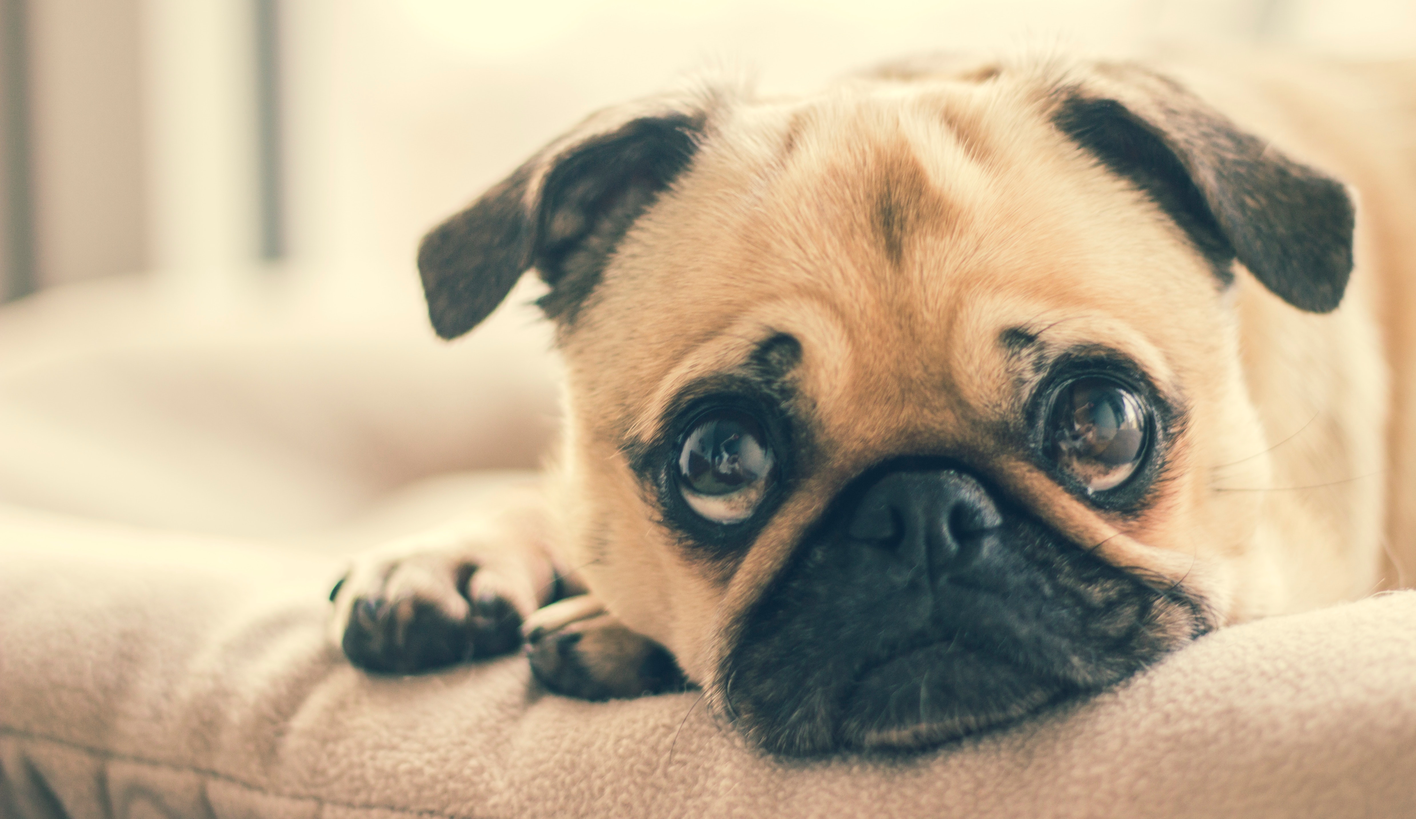 Pug Training Tips | Dog Training School Brisbane
